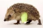 Maria's hedgehog