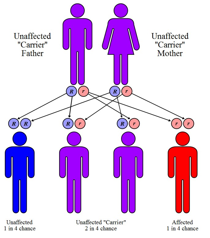 what is the role of chromosomes in the inheritance of genetic traits such as cystic fibrosis and hun Human physiology/genetics and inheritance from wikibooks, open books for an open world traits such as blood type, eye color, hair color, and taste are each thought.